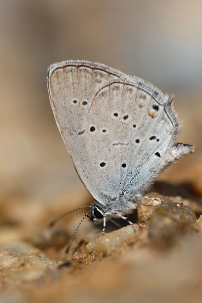 Cupido decolorata - Eastern Short-tailed Blue