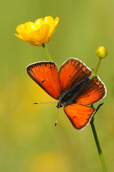 Lycaena hippothoes - Purple-edged Copper