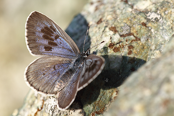 Maculinea arion - Large Blue