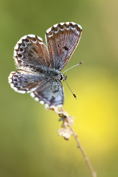 Scolitantides orion - Chequered Blue