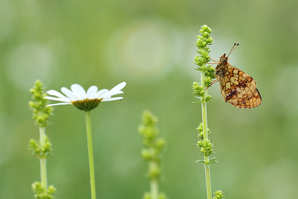 Brenthis daphne - Marbled Fritillary