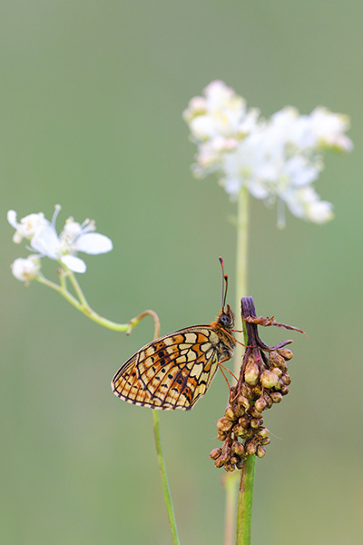 Brenthis hecate - Twin Spot Fritillary