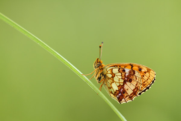 Brenthis ino - Lesser Marbled Fritillary