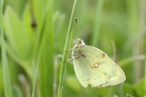 Colias chrysotheme - Lesser Clouded Yelllow