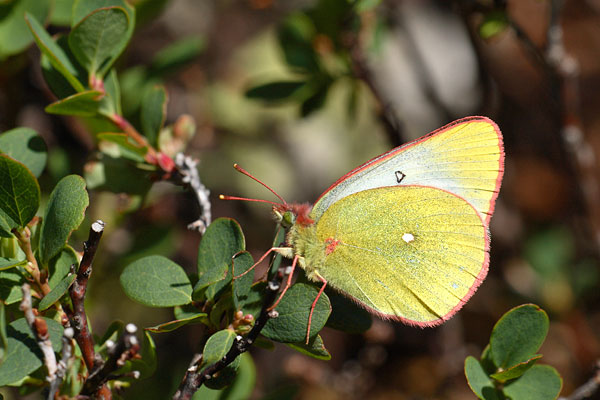 Colias palaeno - Moorland Clouded Yellow