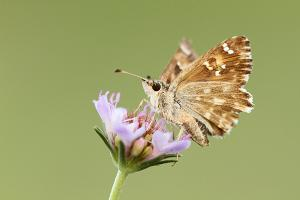 Carcharodus baeticus - Southern Marbled Skipper