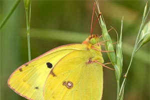 Colias hyale - Pale Clouded Yellow