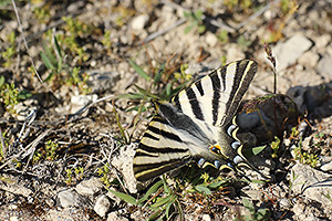 Iphiclides feisthamelii - Southern Scarce Swallowtail