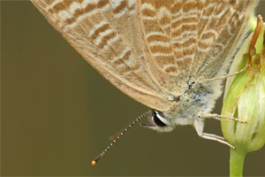 Lampides boeticus - Long Tailed Blue