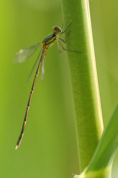 Lestes parvidens - Eastern Willow Spreadwing