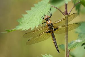 Epitheca bimaculata - Two Spotted Dragonfly