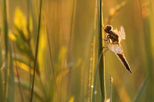 Libellula quadrimaculata - Four spotted Chaser